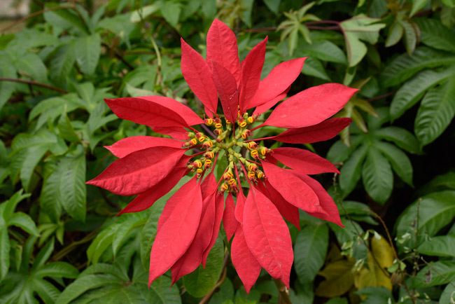 "The pretty red ""Holiday Season Flower"" is not a flower"